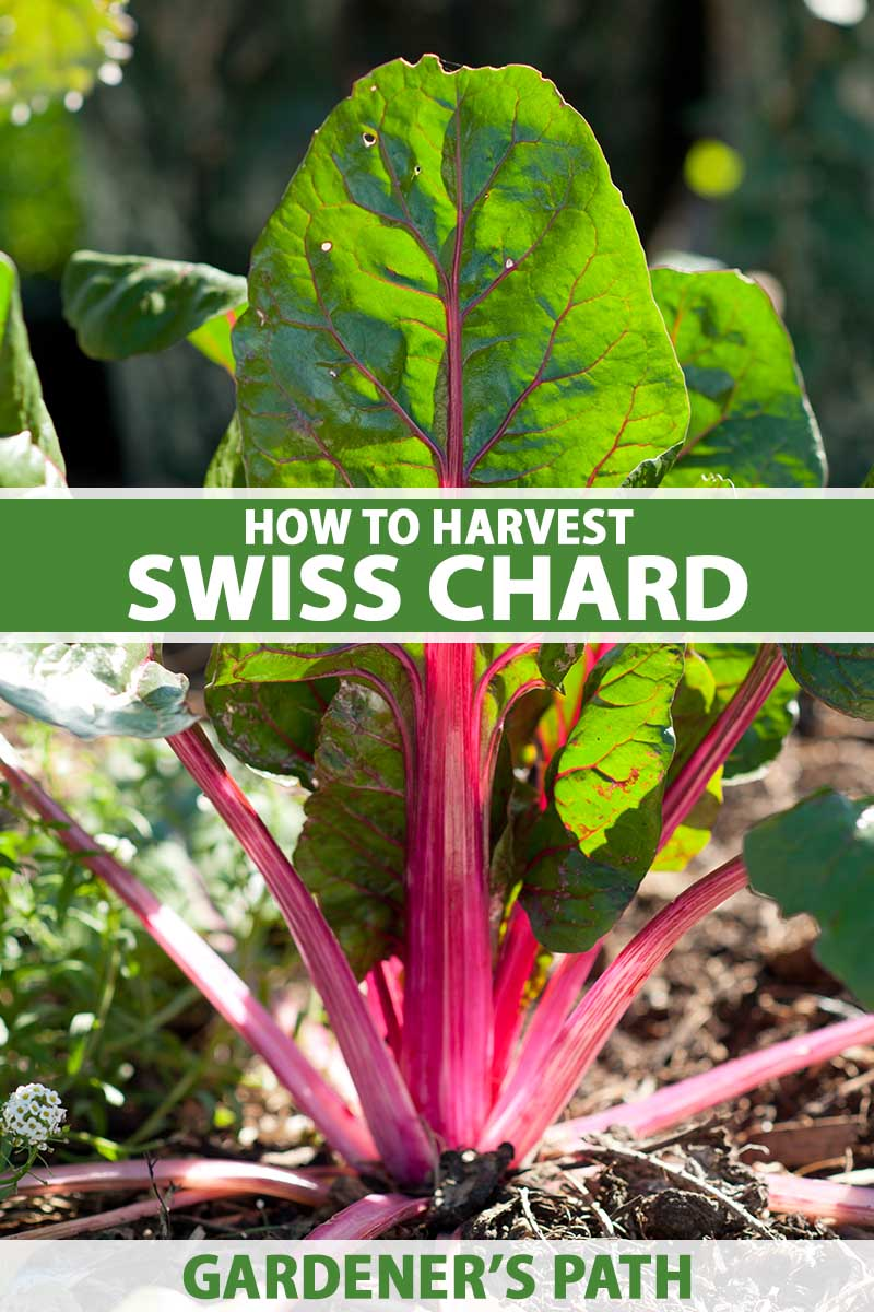 A close up vertical image of Swiss chard growing in the garden with pink stems and dark green leaves pictured in bright sunshine on a soft focus background. To the center and bottom of the frame is green and white printed text.