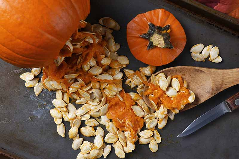 A close up horizontal image of a pumpkin that has been cut open and is spilling seeds on to a metal surface.