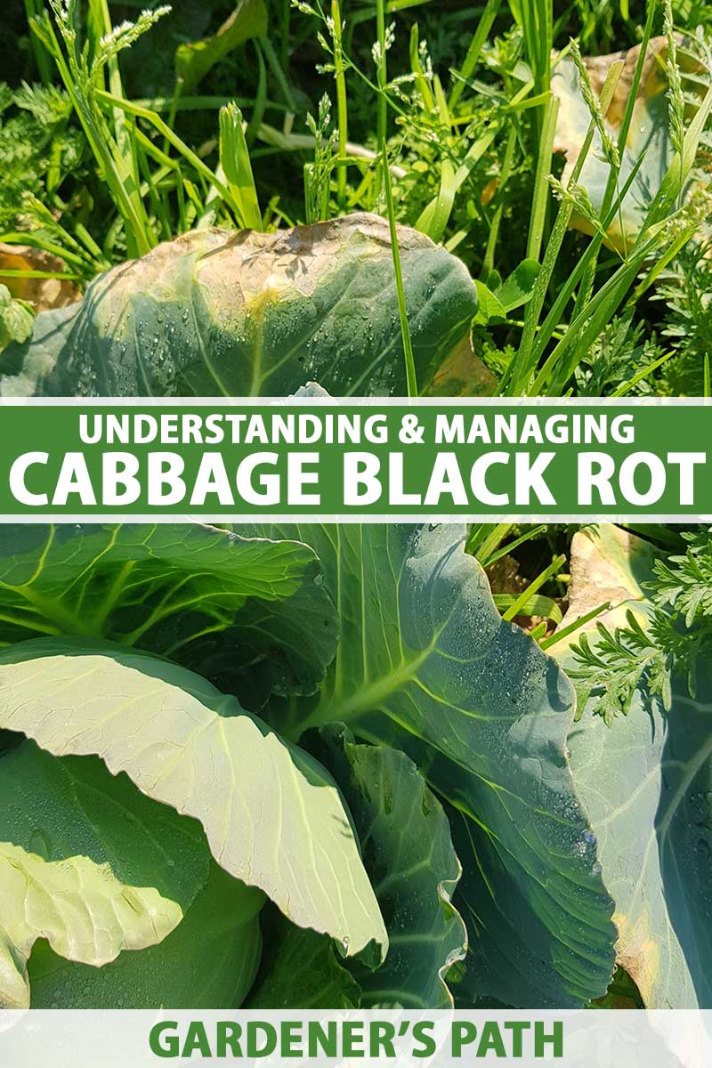 A close up vertical image of a cabbage plant growing in the garden showing symptoms of black rot on the outer leaves. To the center and bottom of the frame is green and white printed text.