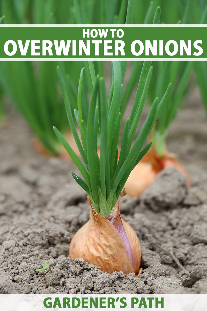 A close up vertical image of onions growing in the garden fading to soft focus in the background. To the top and bottom of the frame is green and white printed text.