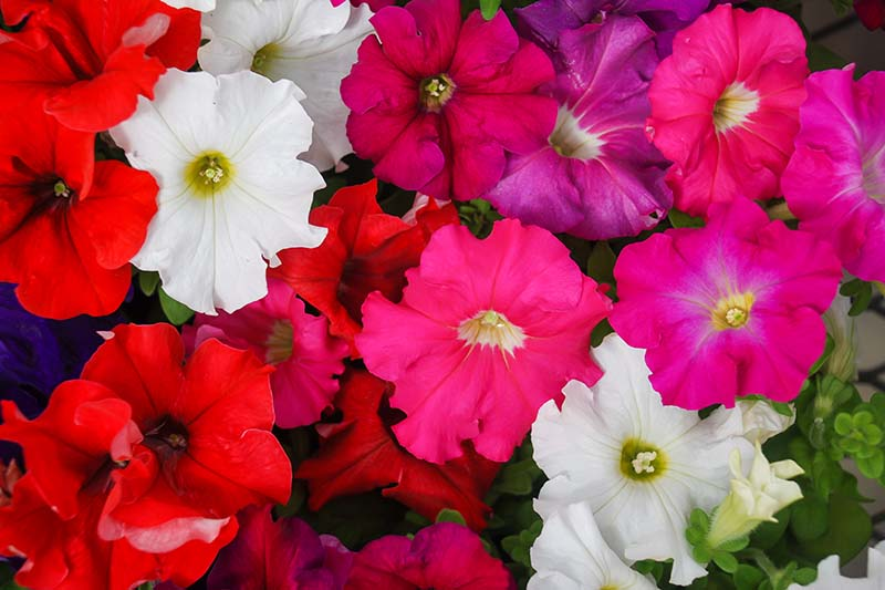 A close up horizontal image of colorful petunias growing in containers.