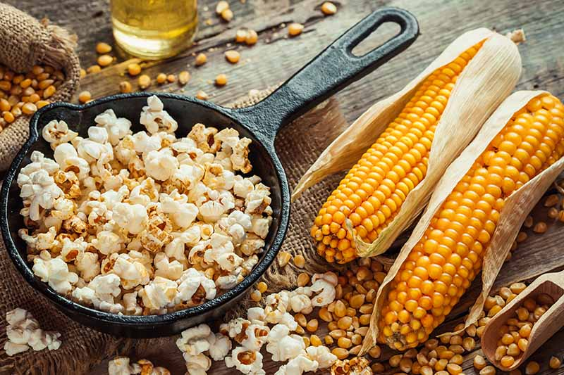 A close up horizontal image of a cast iron pan with freshly popped popcorn with kernels and cobs to the right of the frame.