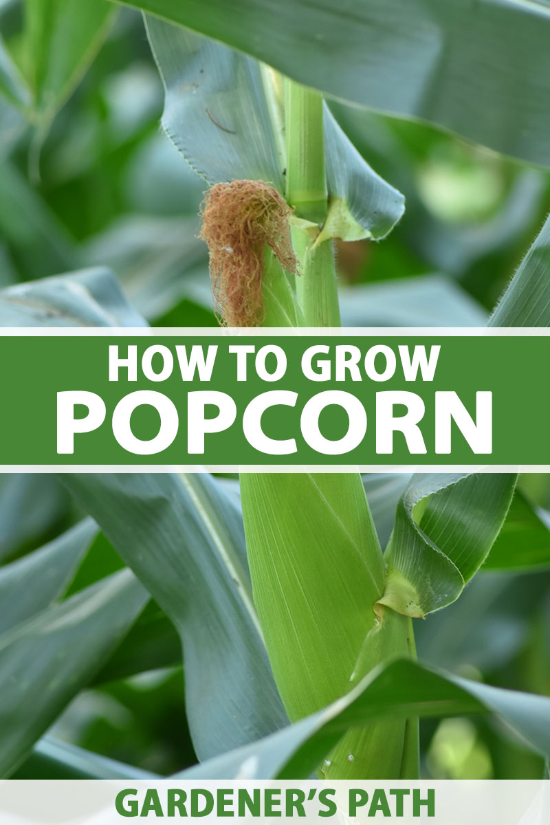 A close up vertical image of an ear of popcorn growing in the garden pictured on a soft focus background. To the center and bottom of the frame is green and white printed text.