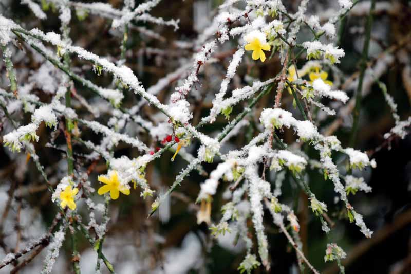 A close up horizontal image of yellow jasmine covered in a light dusting of frost and snow pictured on a soft focus background.