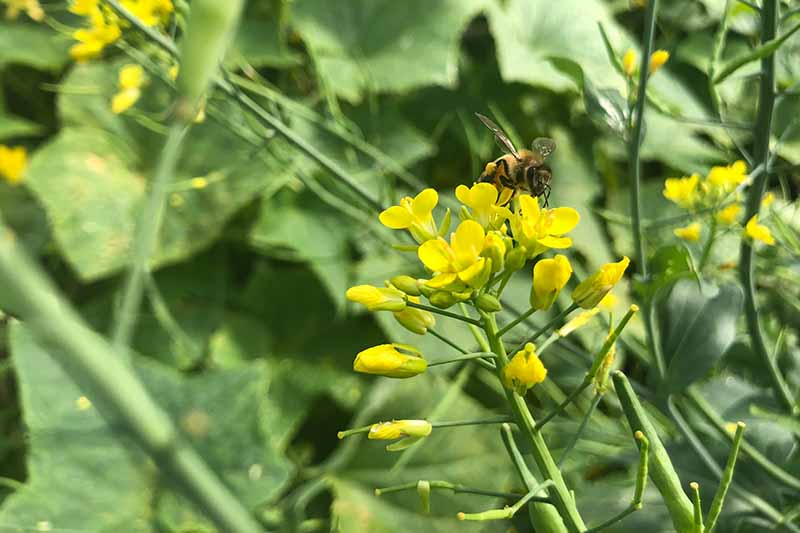 A close up horizontal image of a bee feeding from the yellow flowers of a brassica that has bolted pictured in light sunshine on a soft focus background.