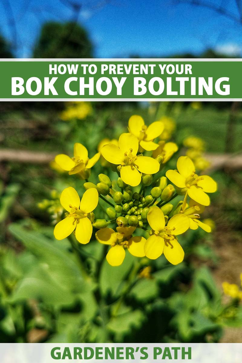 A close up vertical image of the yellow flowers of a bok choy plant that has bolted in hot weather, pictured on a soft focus background. To the top and bottom of the frame is green and white printed text.