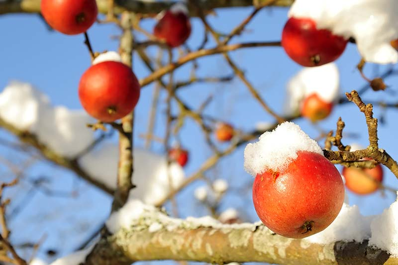 A close up horizontal image of an apple tree with ripe fruit covered in a light dusting of snow pictured in bright sunshine on a blue sky background.