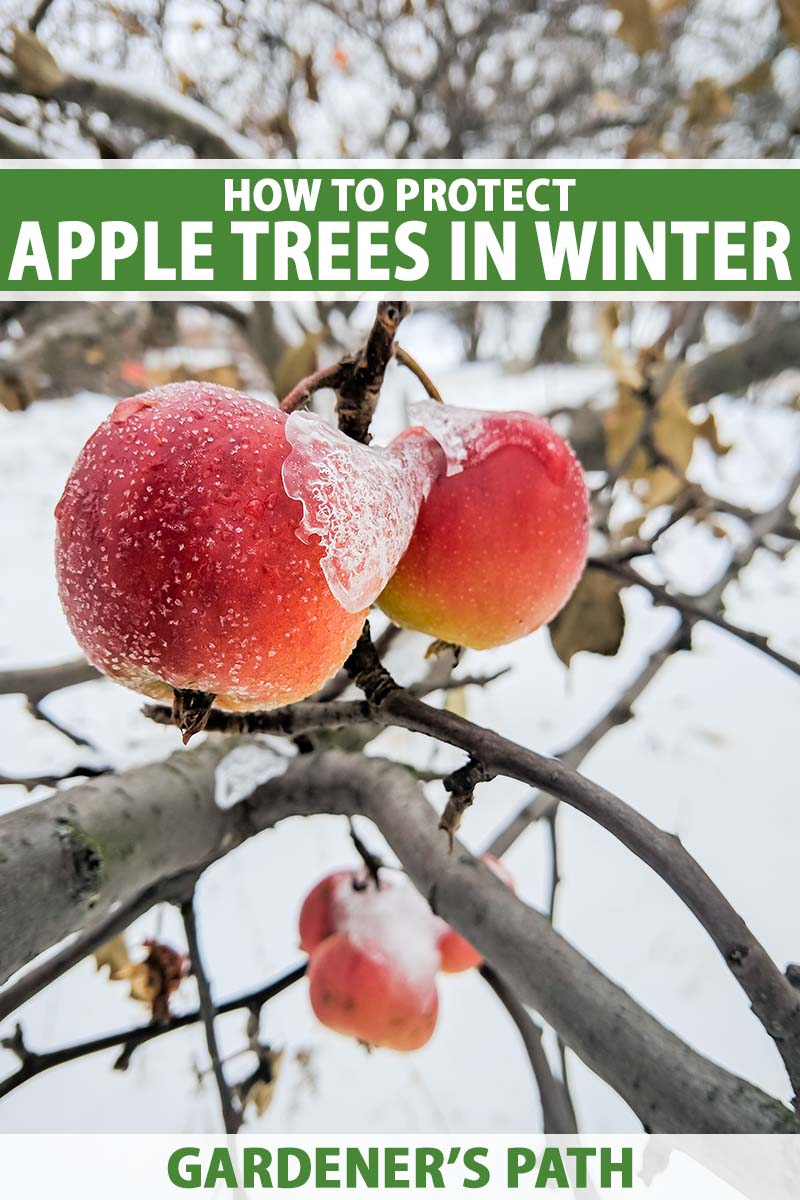 A close up vertical image of an apple tree with ripe fruits in a winter landscape. To the top and bottom of the frame is green and white printed text.