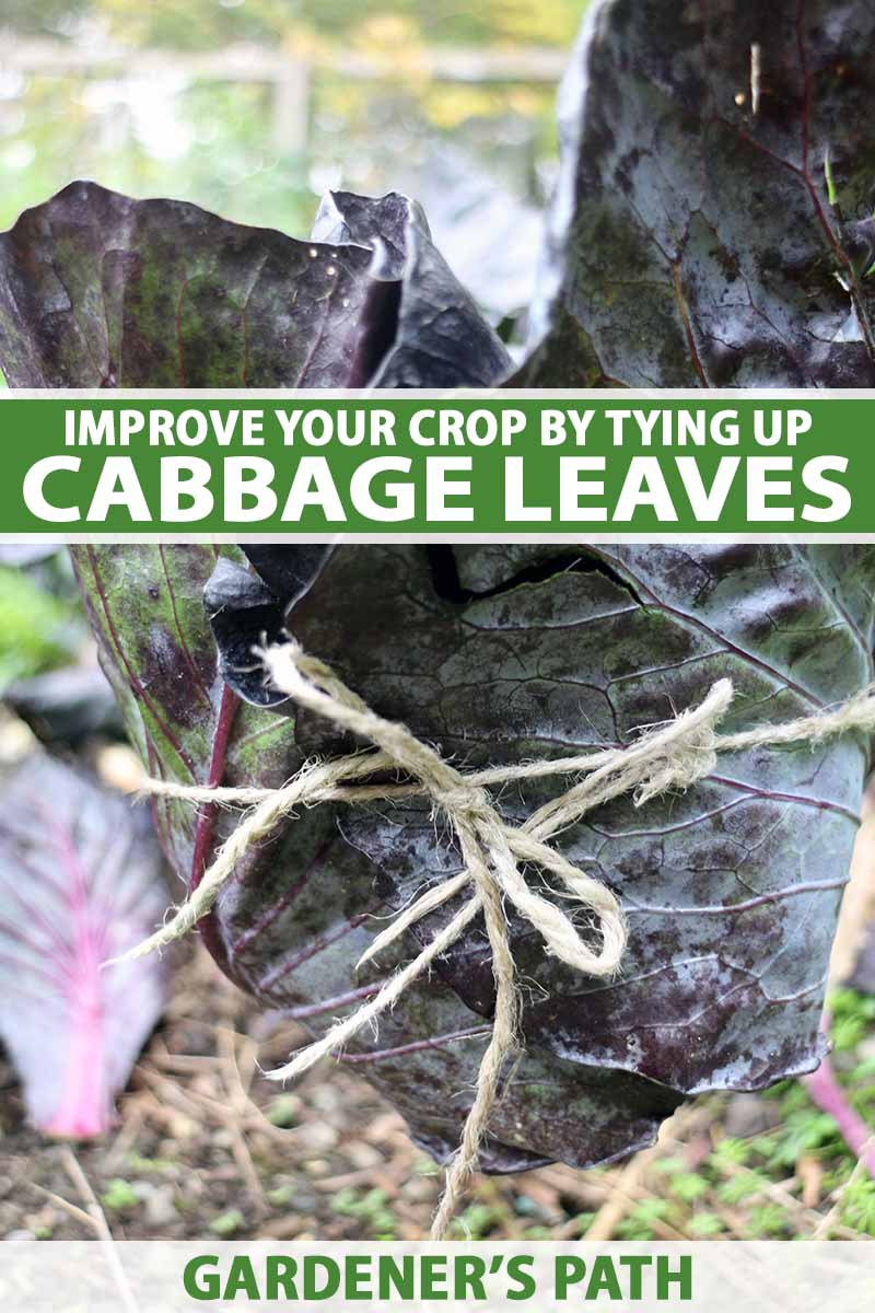A close up vertical image of a purple cabbage plant with the outer leaves tied up around the developing head.