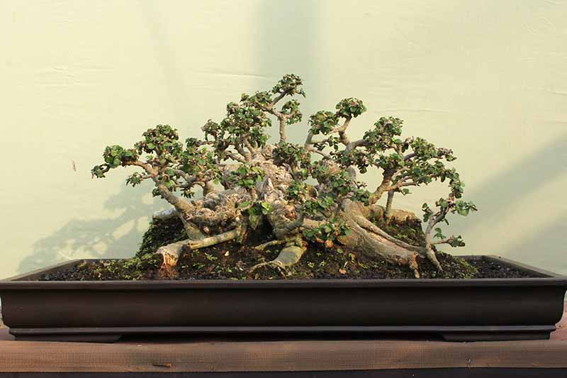 A close up horizontal image of a bonsai tree pruned into Ikadabuki (raft) style with a light yellow wall in the background.