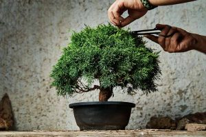 An Intro to Bonsai Trees: Information for the Beginner