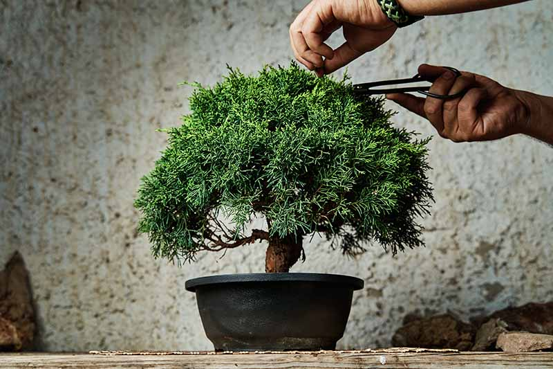 A close up horizontal image of two hands from the top of the frame using a pair of pruners to tend to a small bonsai tree pictured on a soft focus background.