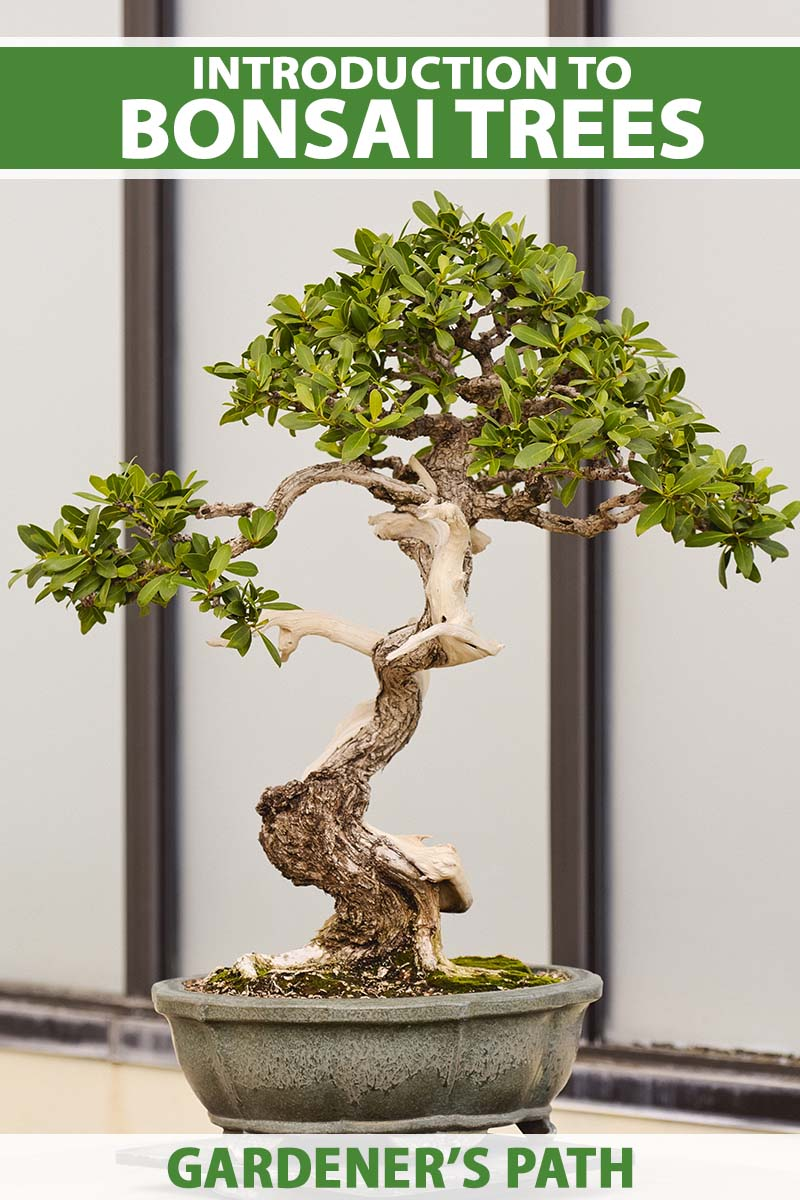 A close up vertical image of a bonsai tree growing in a small pot set on a wooden surface. To the top and bottom of the frame is green and white printed text.