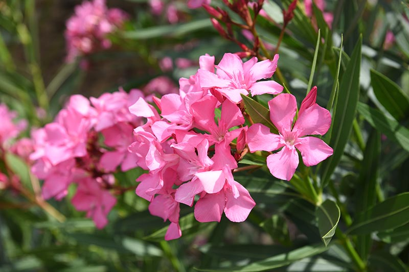 A close up horizontal image of bright pink oleander flowers growing in the garden pictured in bright sunshine with foliage in soft focus in the background.
