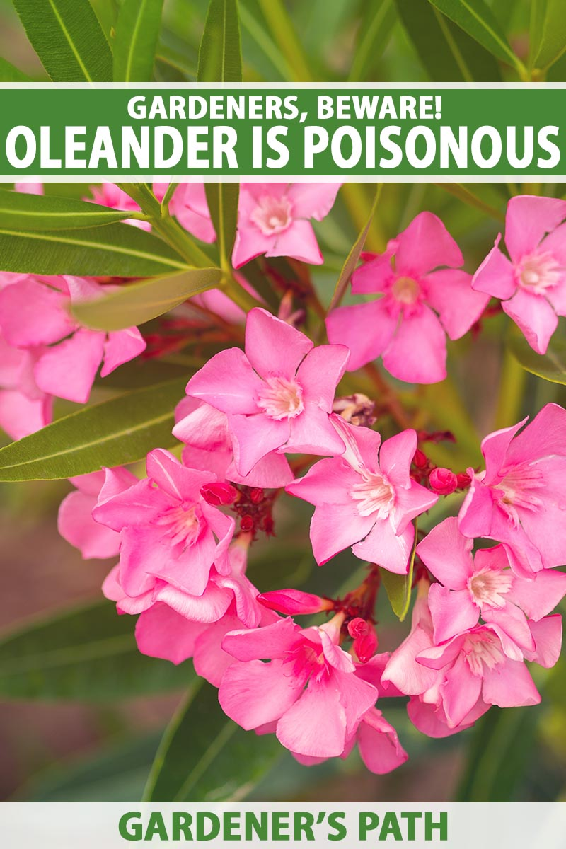 A close up vertical image of bright pink oleander flowers pictured on a soft focus background. To the top and bottom of the frame is green and white printed text.
