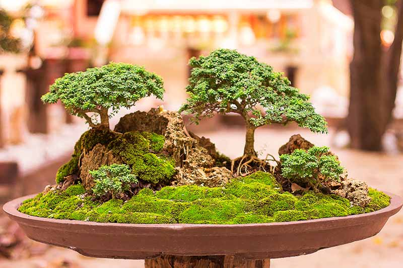 A close up horizontal image of a bonsai display in the ishizuki (growing in rock) style pictured on a soft focus background.