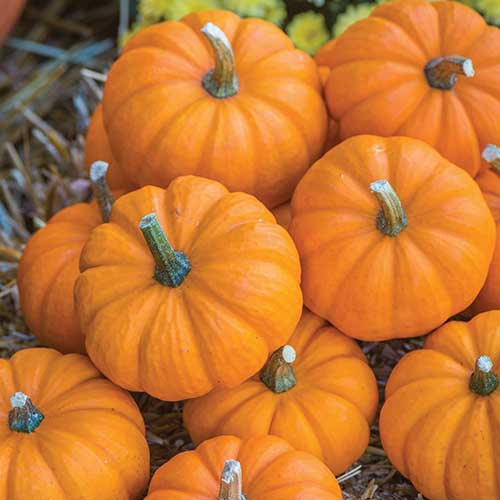 A close up square image of small 'Jack Be Little' pumpkins freshly harvested.