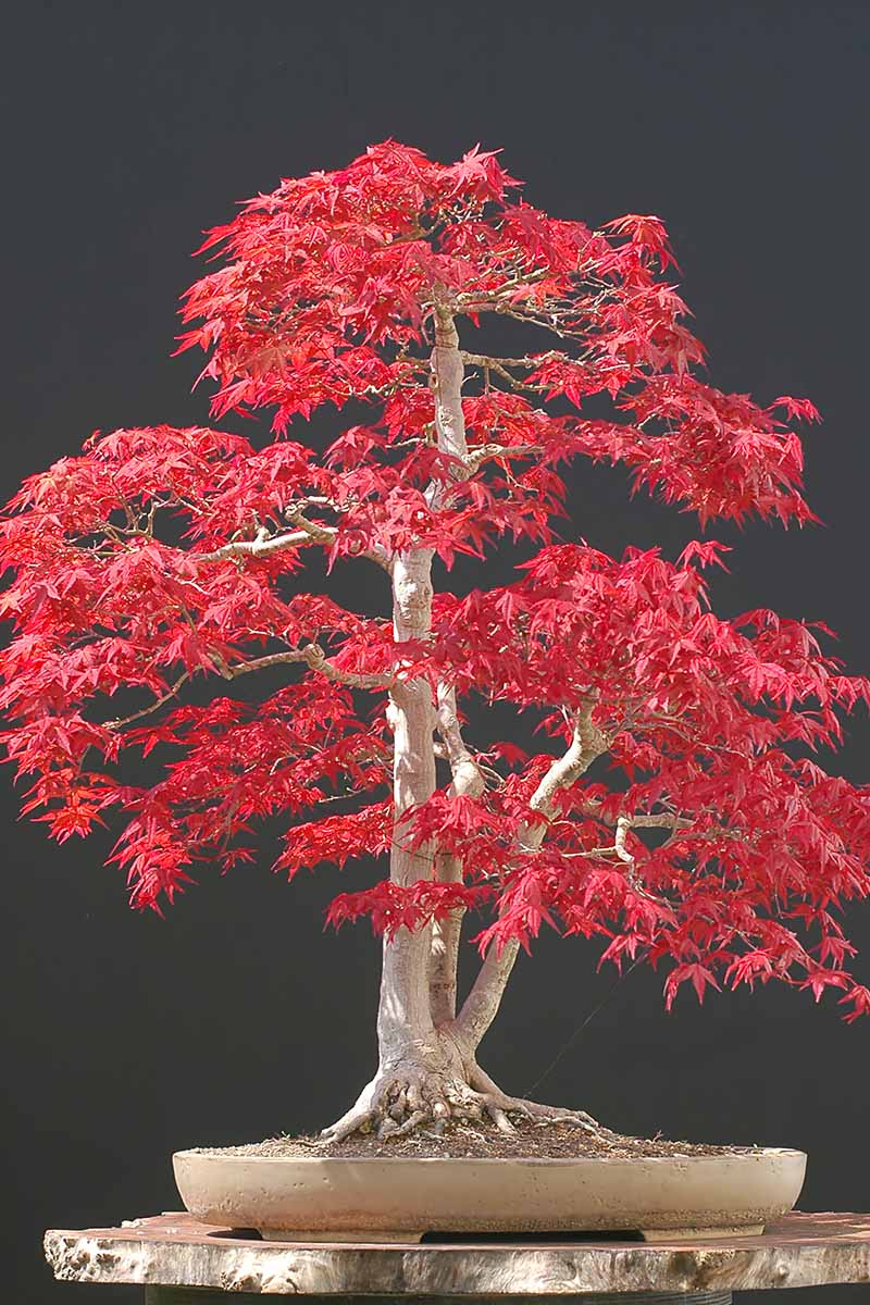 A close up vertical image of a Japanese maple pruned into a bonsai with bright red foliage pictured on a dark background.