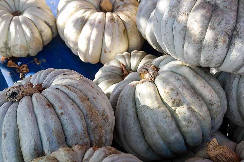 A close up horizontal image of a pile of 'Jarradale' pumpkins.