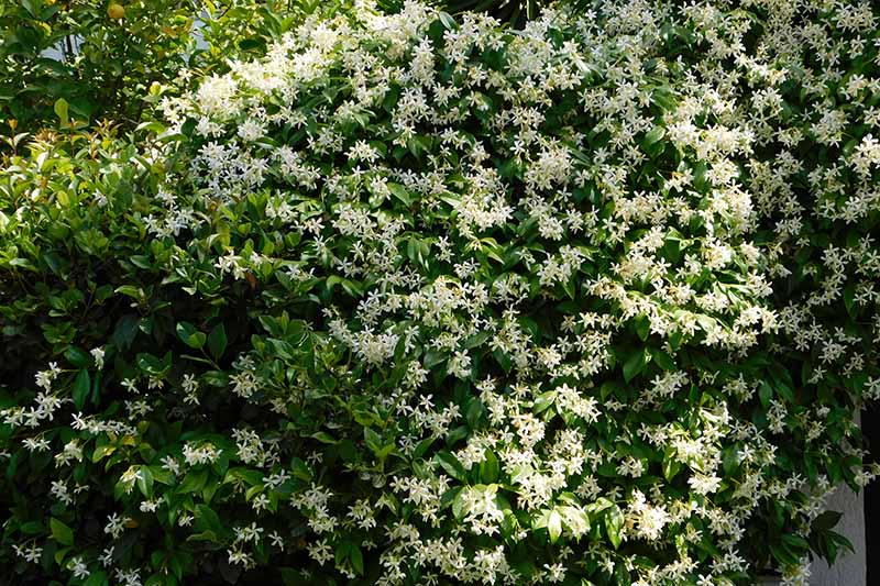 A close up horizontal image of true jasmine flowering in spring.
