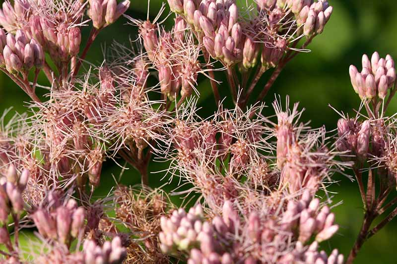 A close up horizontal image of the spent flowers of joe-pye weed (Eupatorium maculatum) pictured in light sunshine on a soft focus background.
