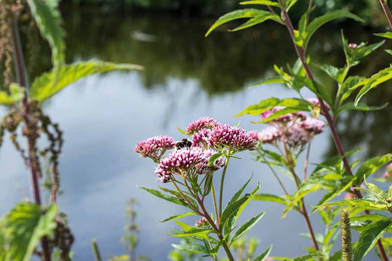 A close up horizontal image of pink joe-pye weed growing next to a lake pictured on a soft focus background.