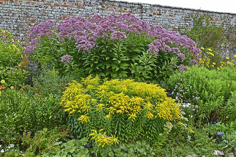 A horizontal image of a garden border with large joe-pye weed growing in front of a brick wall.