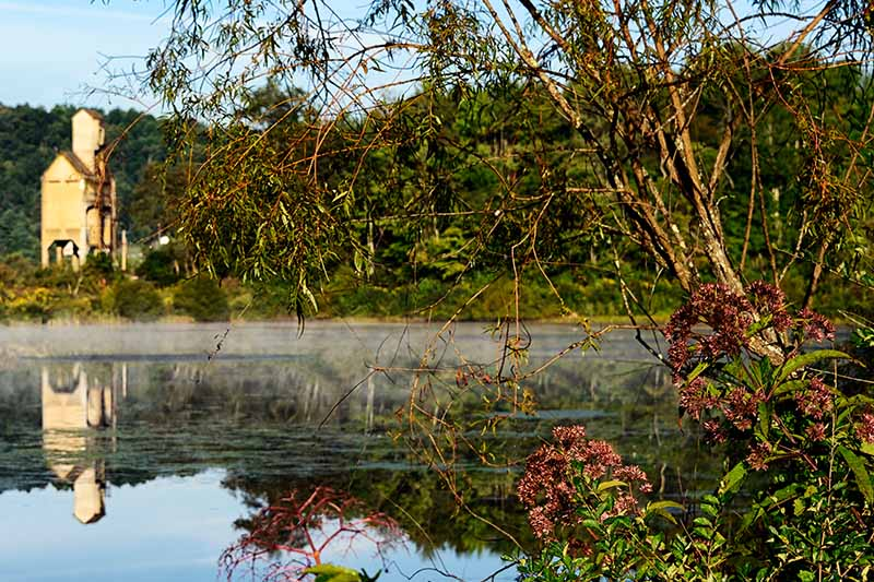 A horizontal image of joe-pye weed growing by a lake with a building and mountains in the background.