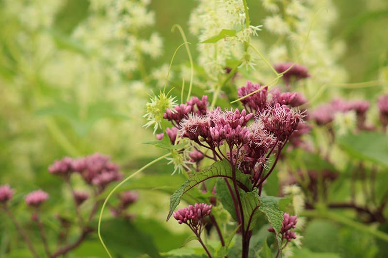 A close up horizontal image of joe-pye weed flowers growing in the garden pictured on a soft focus background.