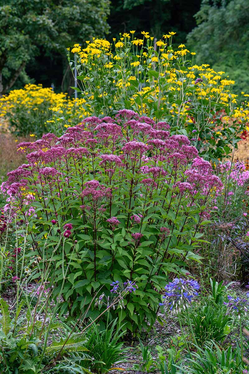 A close up vertical image of joe-pye weed growing as part of a native wildflower landscape.