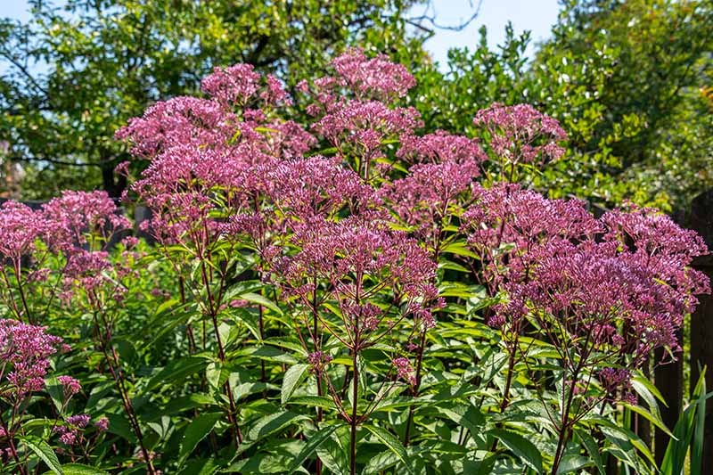 A close up horizontal image of joe-pye weed growing in a garden border in full bloom pictured on a soft focus background.