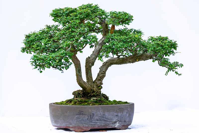 A close up horizontal image of a bonsai tree pruned in the kabudachi or multi-trunk style pictured on a white background.