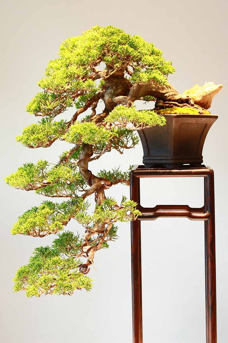 A close up vertical image of a cascading bonsai tree on a wooden platform pictured on a soft focus background.
