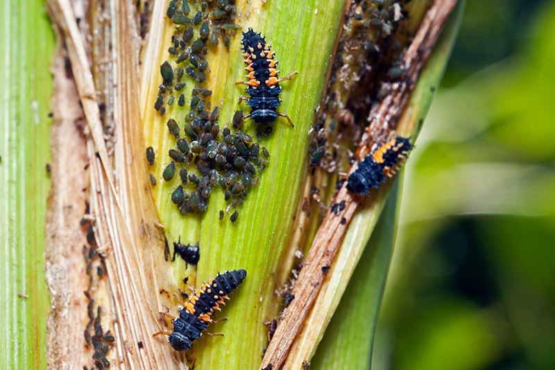 A close up horizontal image of ladybug larvae feeding on aphids on a corn plant.