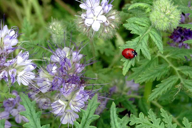 A close up horizontal image of a ladybug on Phacelia tanacetifolia flowers.