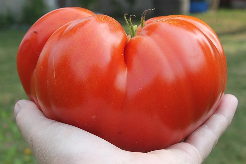 A close up horizontal image of a hand holding a large beefsteak tomato pictured on a soft focus background.