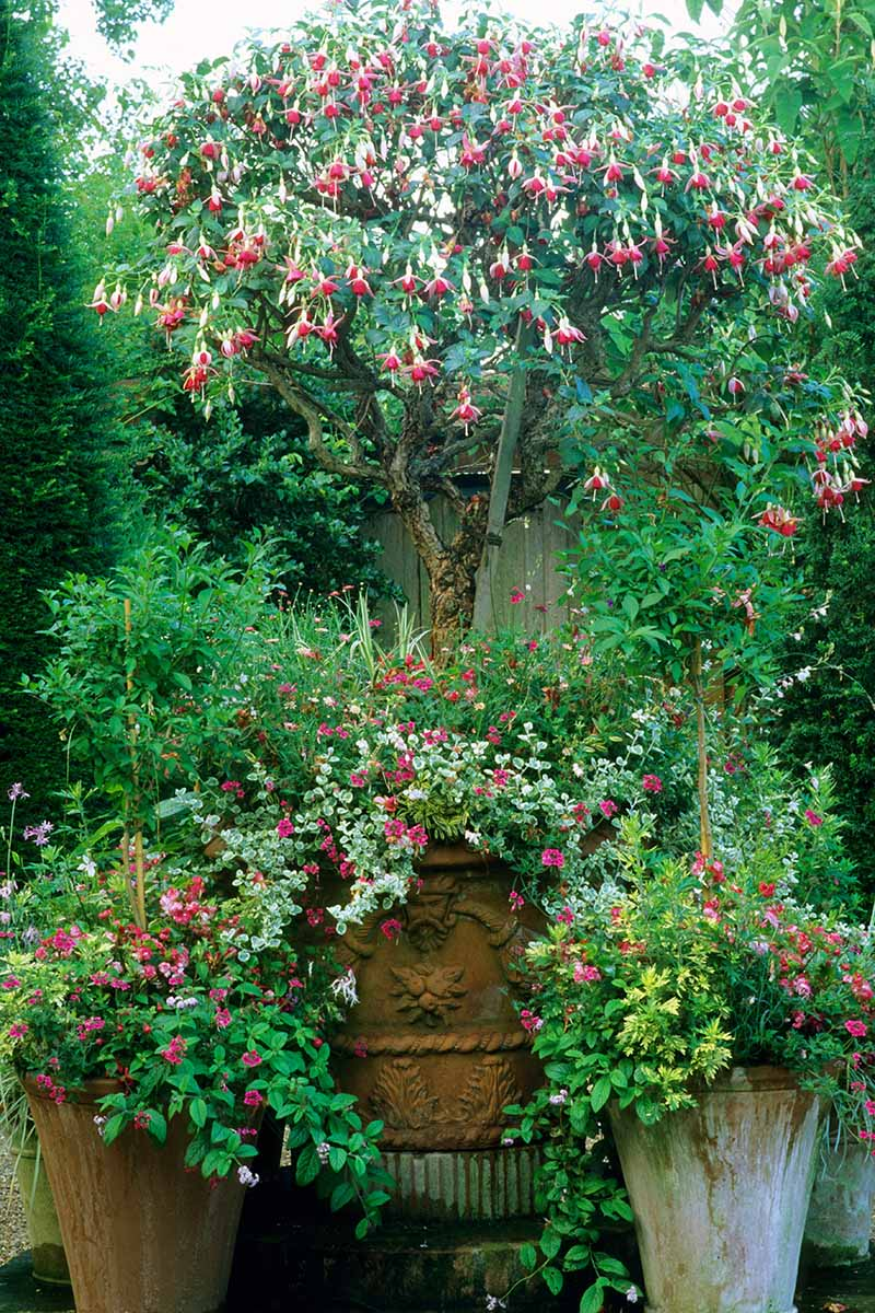 A vertical image of a large hardy fuchsia with pink and white flowers growing in a terra cotta pot on a patio.