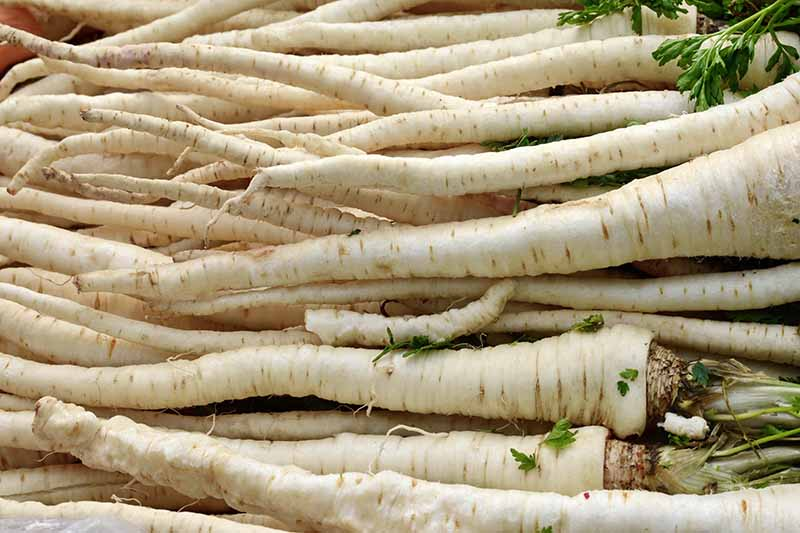 A close up horizontal image of a pile of thin parsnips at a farmer's market.