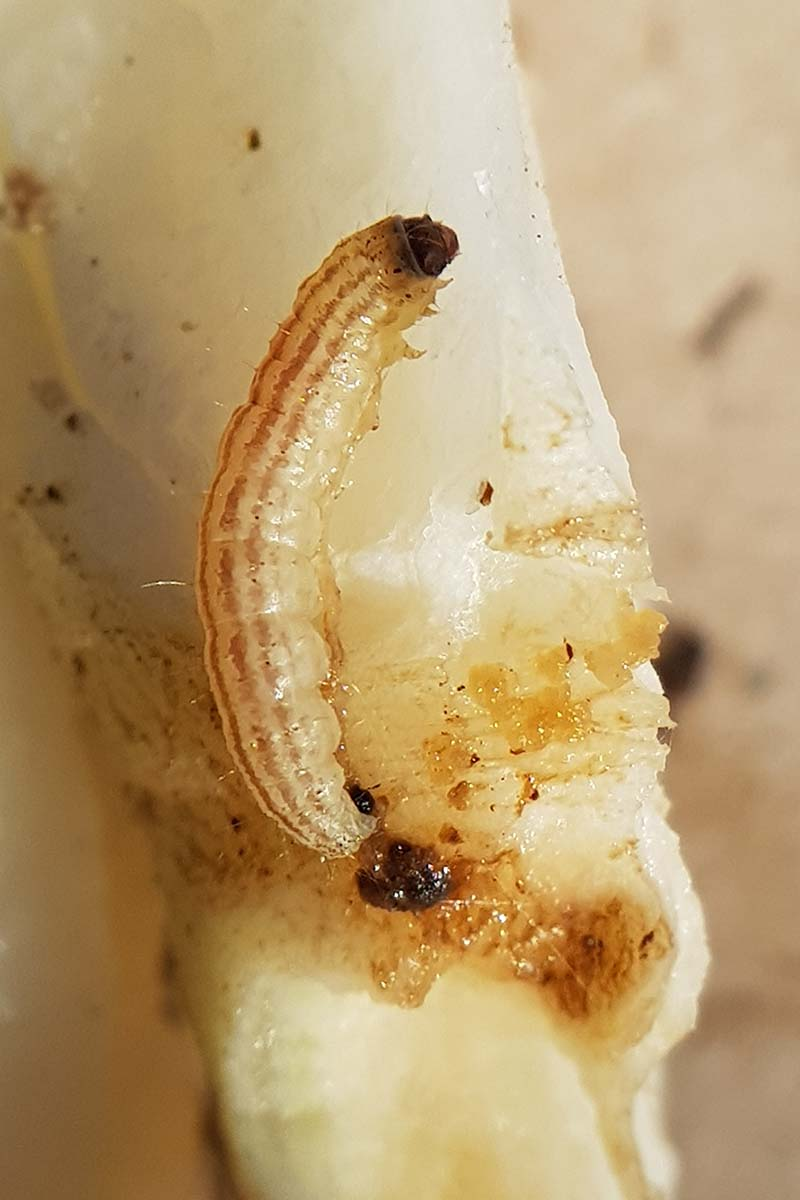 A close up vertical image of a cabbage webworm larva infesting the root of a plant pictured on a soft focus background.