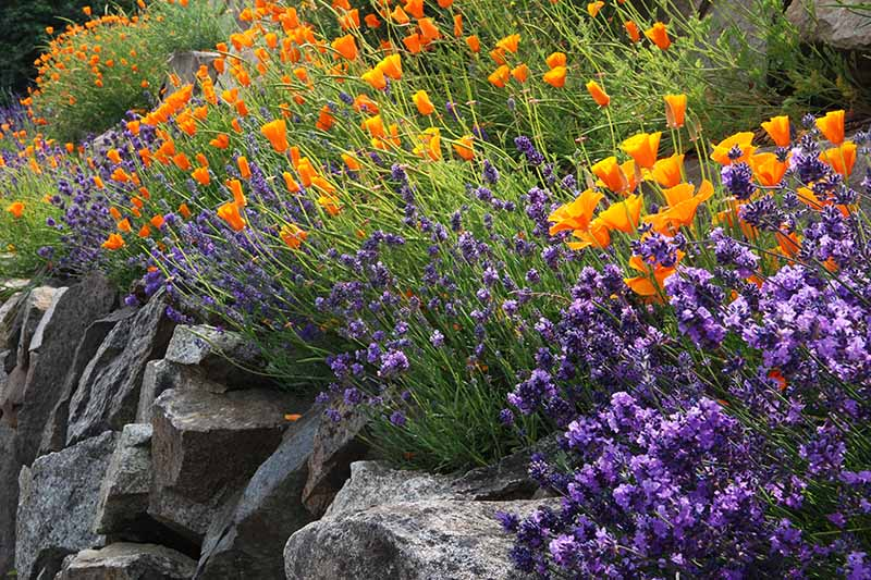 A close up horizontal image of lavender and poppies growing in a rocky garden.