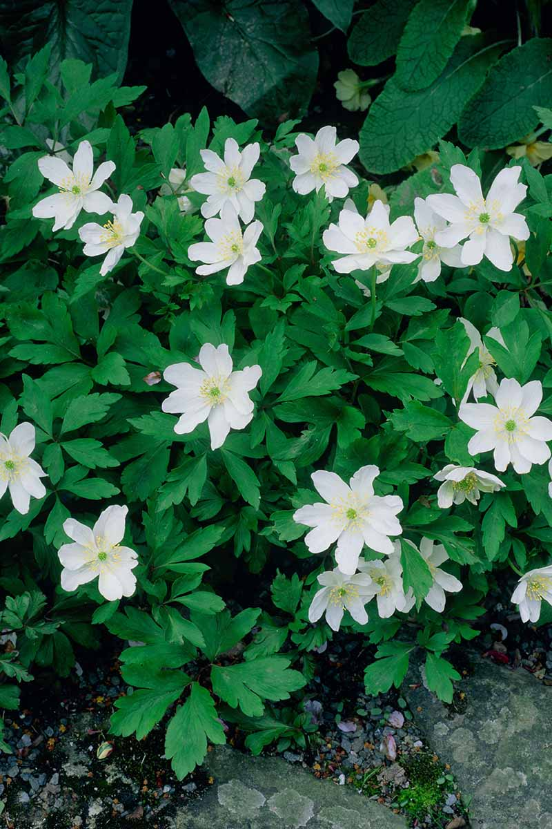 A close up vertical image of 'Leed's Variety' wood anemones growing in the garden.