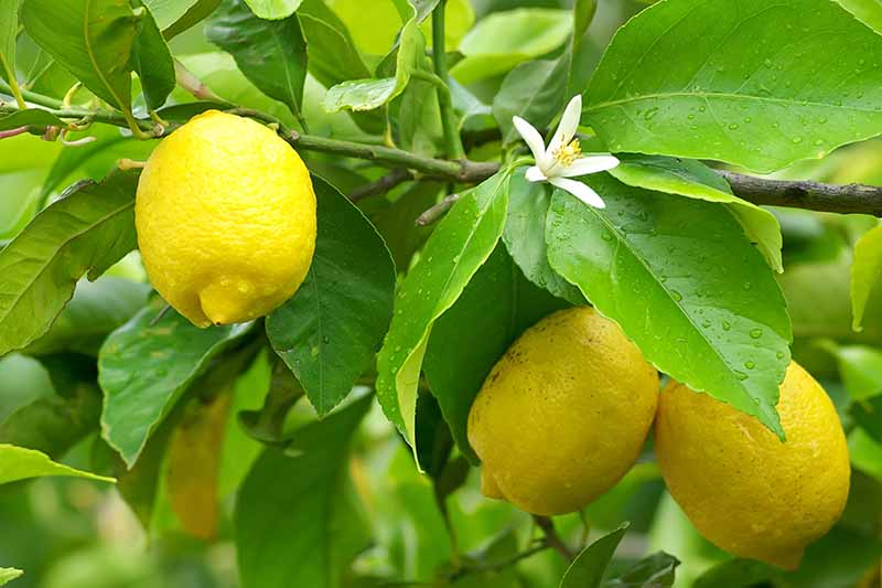 A close up horizontal image of lemons growing in the home orchard, ripe and ready to harvest.