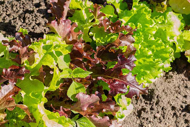A close up horizontal image of leaf lettuce growing in the garden pictured in bright sunshine.