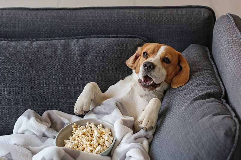 A close up horizontal image of a small dog sitting on a couch covered in a blanket with a bowl of popcorn on its lap.