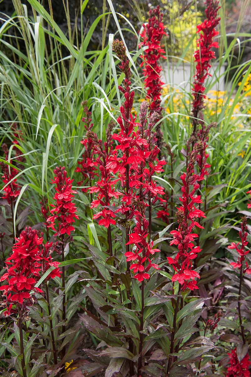 A close up vertical image of red cardinal flower (Lobelia cardinalis) growing in the garden.