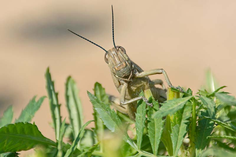 A close up horizontal image of a cute locust peeking over marigold foliage pictured on a soft focus background.
