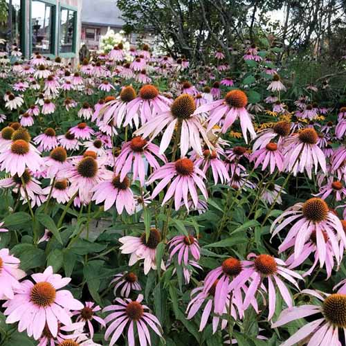 A close up square image of a field of light pink 'Magnus' coneflowers growing outside a residence.
