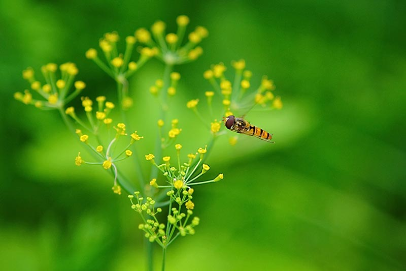 A close up horizontal image of a hoverfly visiting the flowers of a dill plant pictured on a green soft focus background.