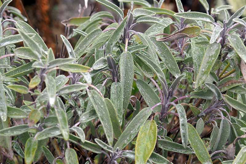 A close up horizontal image of sage growing in the garden pictured on a soft focus background.