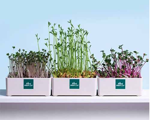 A close up square image of three trays growing microgreens indoors pictured on a blue background.